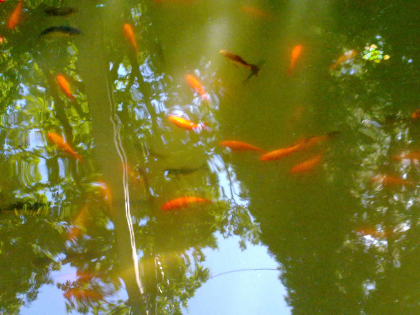 Carpatzoo japanese koi carp for Japanese koi