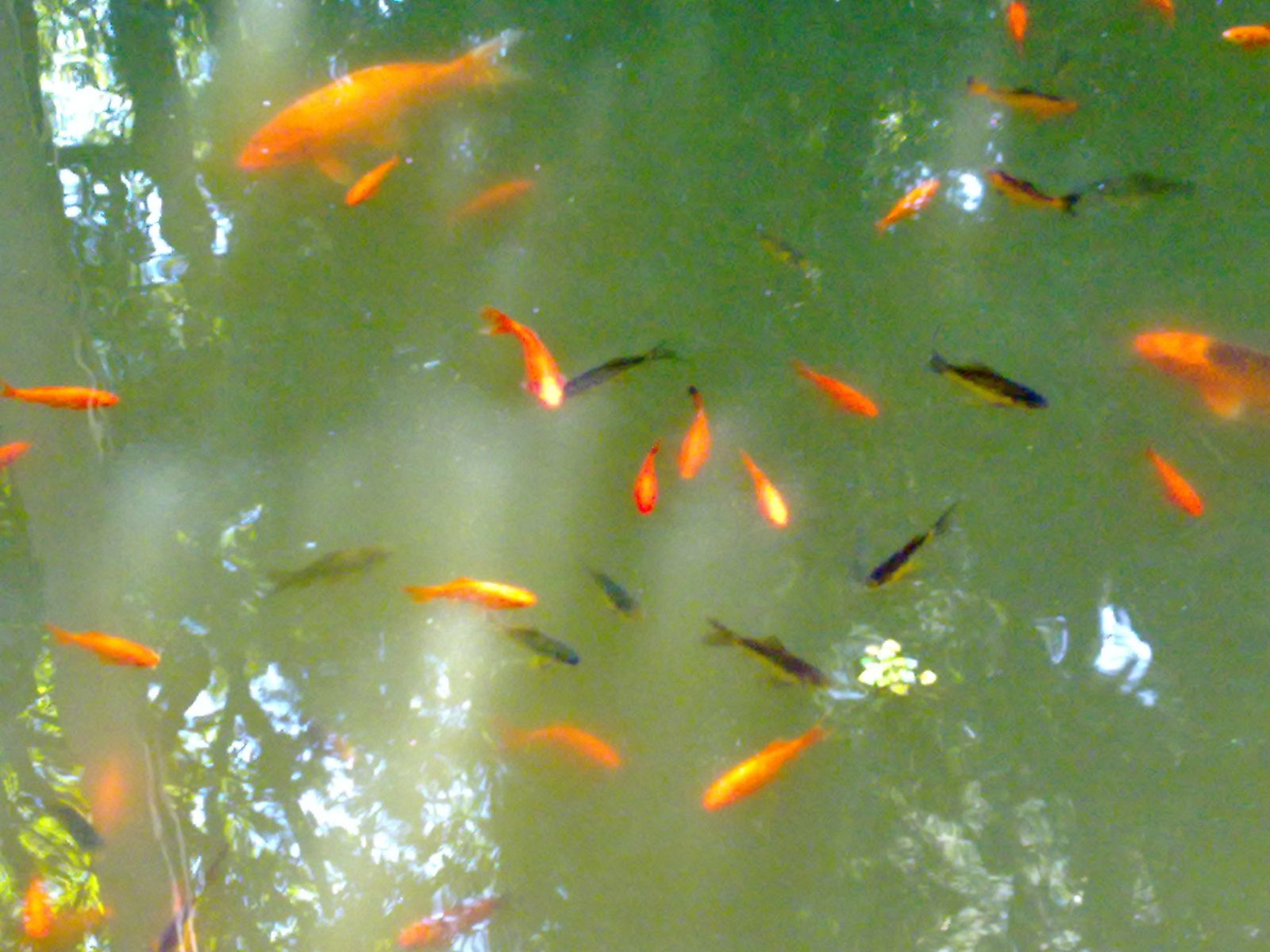 Carpatzoo japanese koi carp for Carpe koi reproduction